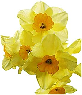 5 Large Golden Dawn Hybrid Narcissus - Beautiful, Multi-Flowered Daffodil - Increases in Warm Climates!