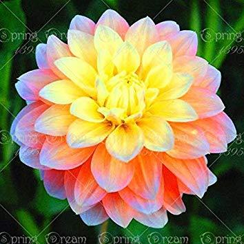 Fash Lady Echte Dahlienzwiebeln, DahlienblüTen, (Nicht Dahliensamen), Bonsai Blumenzwiebeln, symbolisiert Mut und Glück, Hausgarten Pflanze-2 Zwiebeln 2