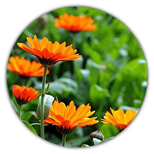 Caléndula (Calendula officinalis), Aprox. 50 Semillas, Planta Medicinal (propiedades antiinflamatorias), para la preparación de té y pomadas