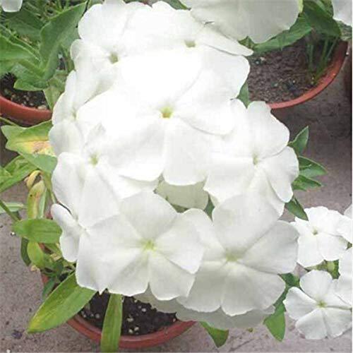 Shopvise 50Pcs Home Garten Samen im Freien Staudenphlox Samen, Samen Ing Phlox-Blumensamen: 8