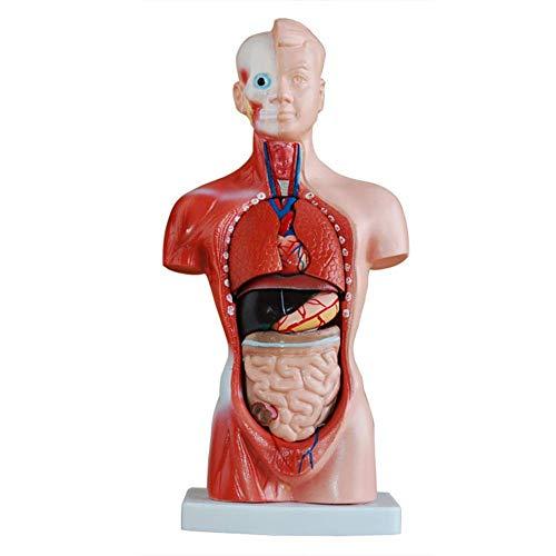 Modelo de órgãos humanos, tronco corporal modelo 26Cm, com 15 órgãos internos sem mangas modelo corporal torso humano Órgãos internos anatômicos adequados para