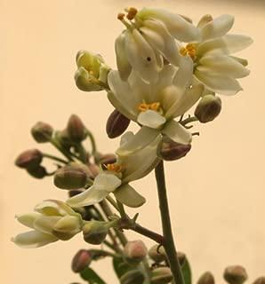 10 Flowering DRUMSTICK TREE Moringa Oleifera Seeds (Miracle Tree / Ben Oil Tree)