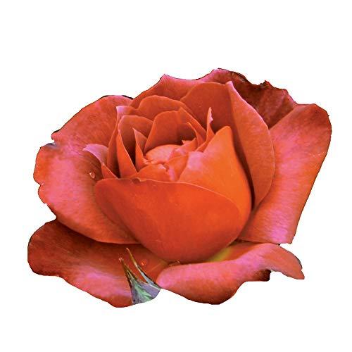Hot Cocoa®, rosaio vivo Rose Barni®, rosa in vaso rossa, arancia e cioccolato, pianta eretta e vigorosa, ideale in bordure, aiuole o vasi sul terrazzo, abbondante rifiorenza fino in autunno cod.72049