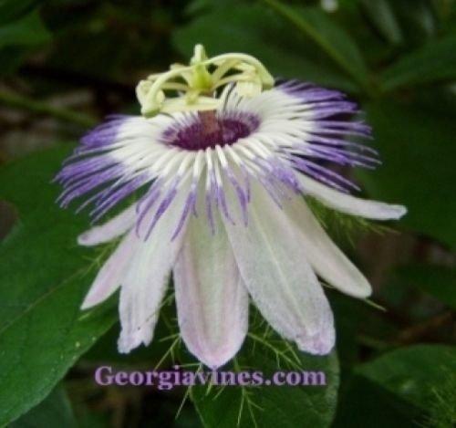Passiflora foetida Love in Mist 10 graines