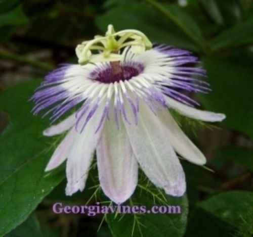 Passiflora foetida Love in Mist 10 graines