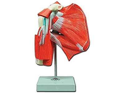 Gima 40016 Model Muscles of the shoulder, Pack 1 by GIMA