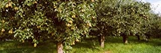 Posterazzi PPI147410L Pear trees in an orchard Hood River Oregon USA Poster Print 36 x 12