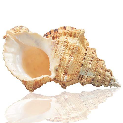 Jangostor Groß Natur Muscheln, Murex Muscheln 17-20 cm Jumbo Muscheln Home Dekoration (5)