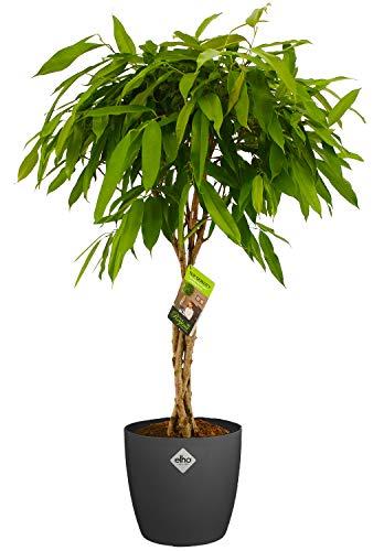 Zimmerpflanze von Botanicly – Birkenfeige in anthrazitfarbenem Übertopf als Set – Höhe: 100 cm – Ficus binnendijkii Amstel King