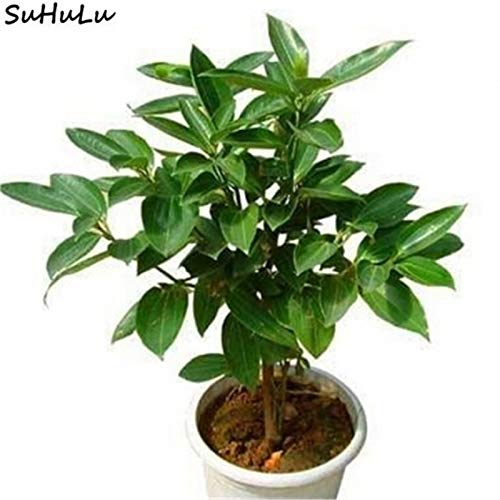 Bloom Green Co. 20 Unids Canela Bonsai Ãrbol de Hoja perenne ...