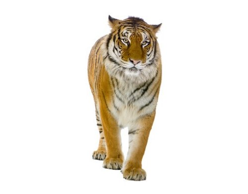 Apalis raamsticker raamfolie Bengalischer Tiger raamafbeeldingen