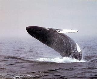 Ocean Wall Decor Jumping Humpback Whale Sealife Underwater Animal Art Print Poster (16x20)