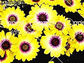 VISTARIC 4: 100 Pcs vrai Cactus Seeds, Mini Cactus, Figuier, Succulentes japonais Graines Bonsai Fleur, Plante en pot pour jardin 4