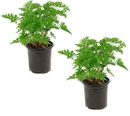 Cottage Hill Citronella Mosquito 2 Piece Live Plant, Yellow Blooms