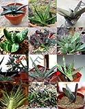 Planta rara Gasteria Mix Piedras vivas exóticas Flor del cactus suculentas -10 Semillas