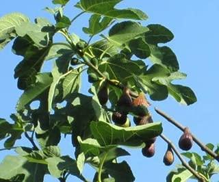 1 Texas Everbearing Fig Tree 12-20
