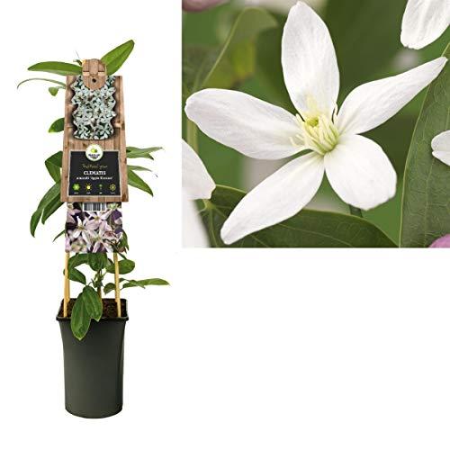 immergrüne Waldrebe Clematis armandii 60-80 cm Kletterpflanze