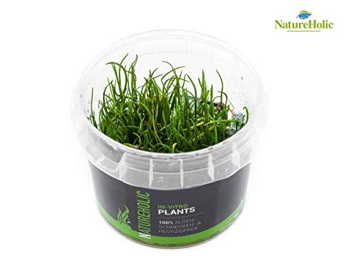 Mauritius-Graspflanze/Lilaeopsis mauritiana - NatureHolic In-Vitro Aquarium Pflanze