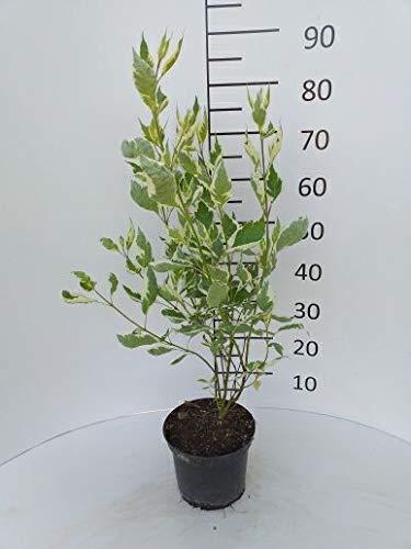 Späth Hartriegel 'Elegantissima' LH 40-60 cm im 3 Liter Topf Zierstrauch weiß blühend Gartenpflanze Halbschatten