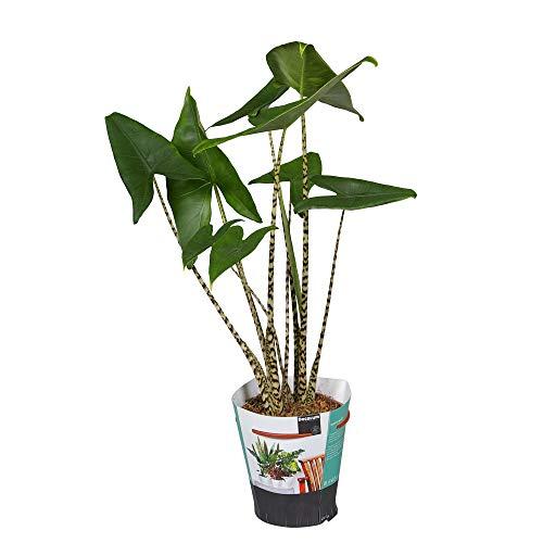 Alocasia zebrina | Araceae | Tiger-Pfeilblatt | tropische Zimmerpflanze | Elefantenohr | Lieferhöhe 75-80cm | Topfgröße Ø 19 cm