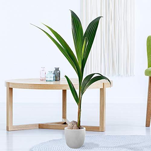Cocos nucifera | Kokospalme Pflanze | Palme Pflanze | Höhe 110-120 cm | Topf-Ø 19 cm