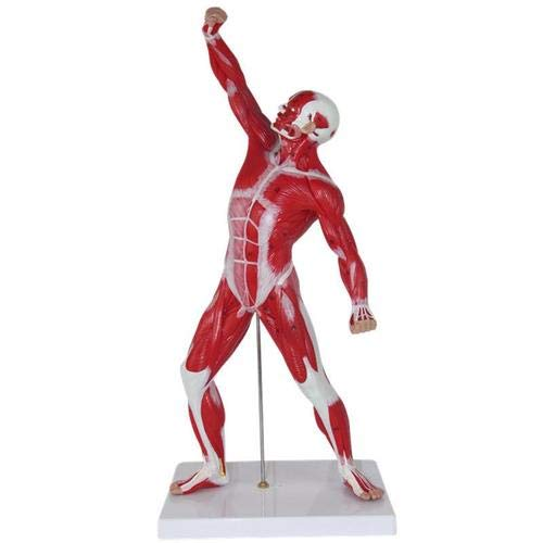 Menschlicher Körper Muskel Anatomie Modell Shallow Muscle Anatomy Muscle Torso 50 Cm 4: 1 Medical Aid Teaching Tools