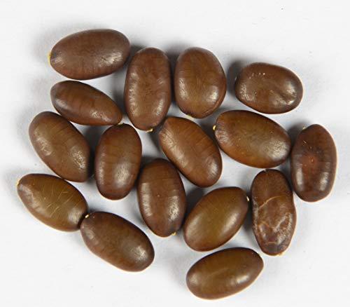 Christusdorn Gleditsia triacanthos 15 Samen