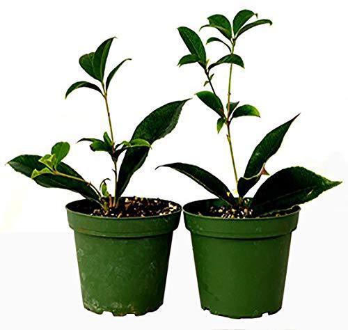 9GreenBox - Sweet Olive Tree Osmanthus - 2 Pack of 4' Pot