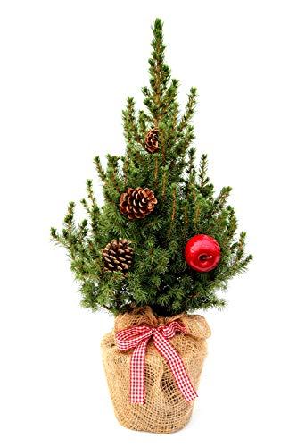 Geschmückter Weihnachtsbaum Außendekoration Zuckerhutfichte winterhart Picea glauca \'Conica\' im Topf gewachsen (Jute mit Schleife 1 Apfel und 2 Zapfen 40-50cm)