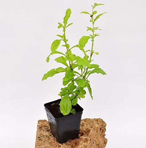 Pianta Plumbago Capensis, Vaso 7cm, Altezza 10/15cm