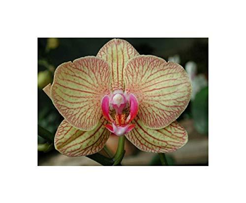 Stk - 1x Phalaenopsis Hybride Jungpfl. Orchidee Zimmer Pflanze OW232 - Seeds Plants Shop Samenbank Pfullingen Patrik Ipsa