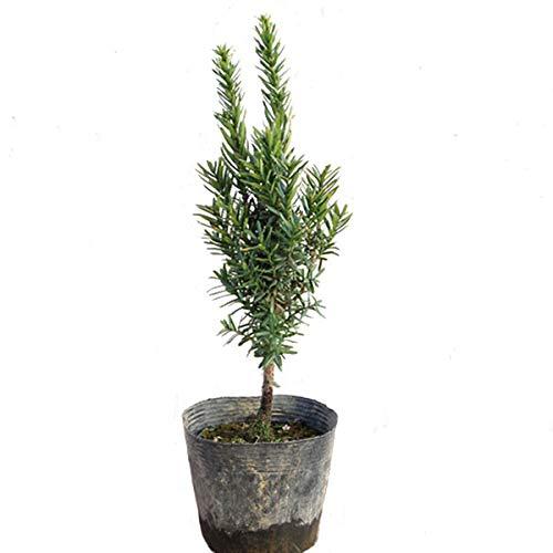 キャラボク 樹高20cm前後 単品 常緑 苗木 庭木 伽羅木 イチイの変種