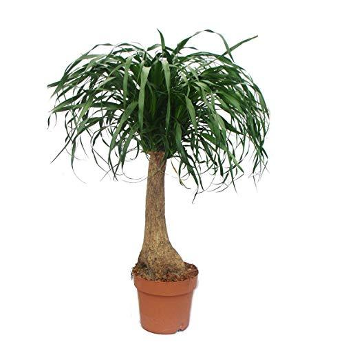 Exotenherz - Elefantenfuss - unverzweigt - Zimmerpflanze - ca. 80cm
