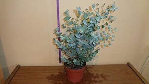 Eucalyphtus 1 Stück Gunni Busch T14 Eukalyhtusbaum, Pflanzen 30-35 cm winterhart