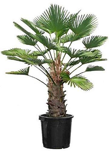 Seltene Trachycarpus Wagnerianus Hanfpalme bis 130 cm Höhe Frosthart bis -19 Grad