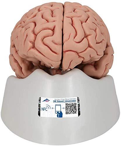 3B Scientific Menschliche Anatomie - Klassik-Gehirn, 5-teilig + kostenloser Anatomiesoftware - 3B Smart Anatomy