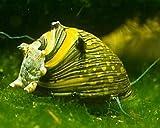 Caracoles de Cuernos de gambas, acuarios, Caracoles, eliminador de Algas