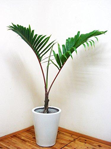 幸せに成れるとヤシの木として話題!人気の陶器鉢仕立ての希少な10号サイズのトックリヤシ/130cm前後(10号)(トックリヤシモドキ)