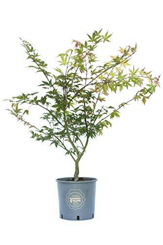 Vannucci Piante, Acero giapponese, Pianta da terrazzo, Acer palmatum 'Osakazuki'