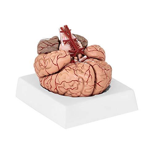 Physa Gehirn Modell Anatomie PHY-BM-1 (realistisches Modell Maßstab 1:1, 9 einzelne Gehirnsegmente, inkl. Sockel)
