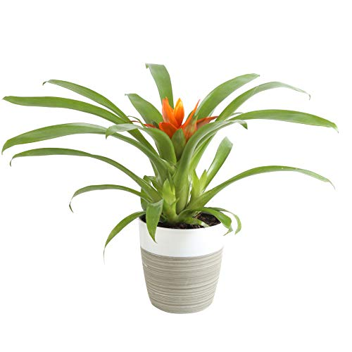 Costa Farms Flowering Bromeliad Indoor Plant Color-Grower's Choice, Gift, 12-Inches Tall