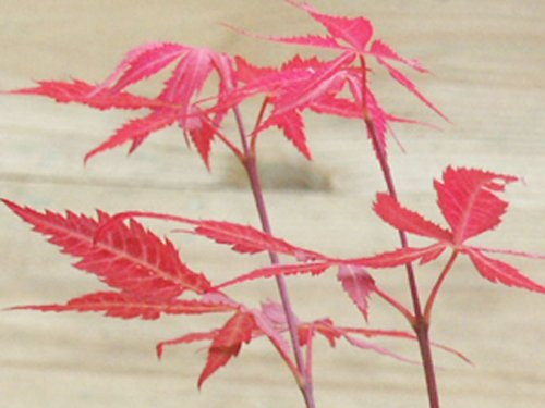 Herb Maple Acer Palmatum Atropurpureum Seeds