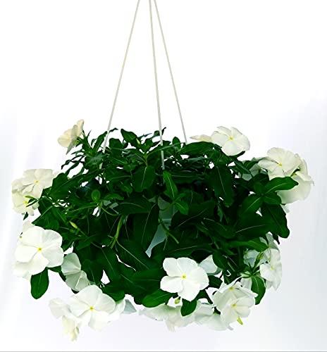 Péndula blanca de baloncesto 20 cm, plantas auténticas
