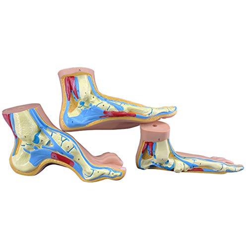 Normales Fußmodell Das Anatomische Modell des Flachen Fußgewölbes des Normalen Fußes, Die Fußstruktur, Bildet Die Muskelblutgefäße Mit Digitalen Zeichen