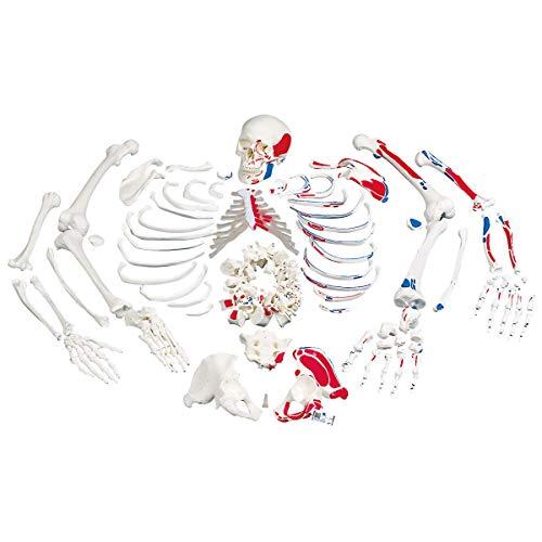 3B Scientific Menschliche Anatomie - Skelett mit Muskeldarstellung, unmontiert + kostenloser Anatomiesoftware - 3B Smart Anatomy, A05/2