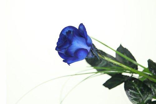 Blaue Rose - Langstielige Rose - Mit feinen Gräsern dekoriert
