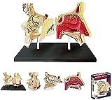 DERUKK-TY Modelo de Estudio, Modelo Educativo, Modelo anatómico de órganos Humanos, Modo de órgano, 27 Piezas Desmontables, Modelo de enseñanza médica