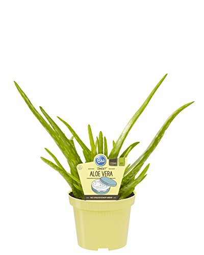 BALDUR Garten Echte Aloe Vera,1 Pflanze hoch im 12 cm-Topf, Aloe barbadensis Miller Zimmerpflanze, Luftreinigende Zimmerpflanze