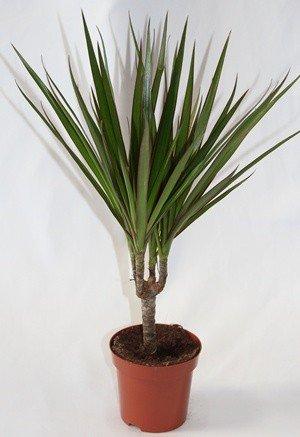 Dracena Marginata (1 tronco) - Planta viva de interior
