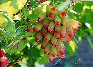 VISTARIC 8: Bonsai Finger de pépins de raisin délicieux pot organique plante pour les plantes ornementales Maison et jardin Can comestible sain Fruit semences 60 Pcs 8